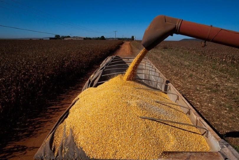 Mato Grosso conclui colheita de milho 2ª safra, diz Imea; algodão vai a 77% da área
