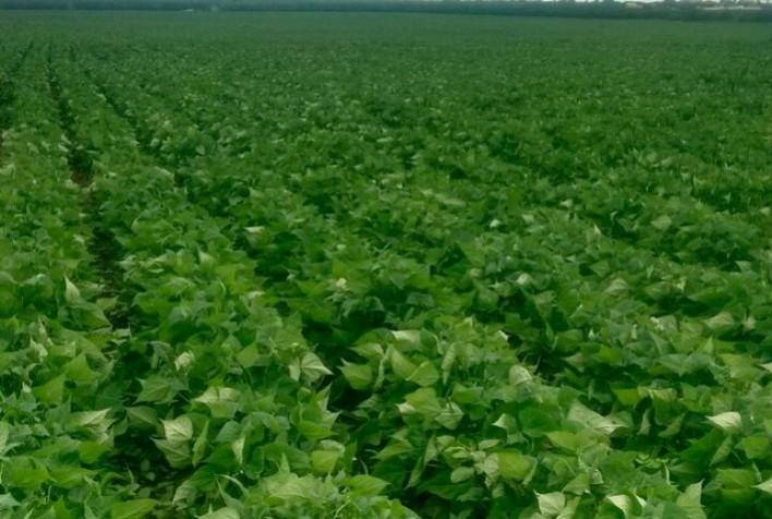 Feijão sofre com seca: Menor produção da década