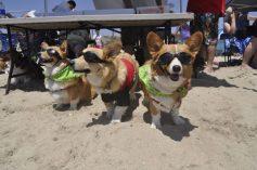 corgi-nation-beach-day-california-05