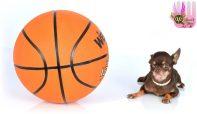 miracle-milly-menor-cachorro-mundo-chihuahua-5