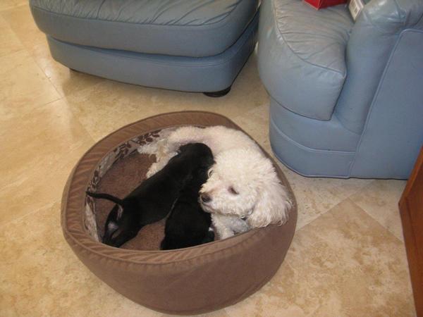 A poodle Dream com sua filhote Cupcake e a cachorrinha adotada Candy. (Foto: Reprodução / Dogster)