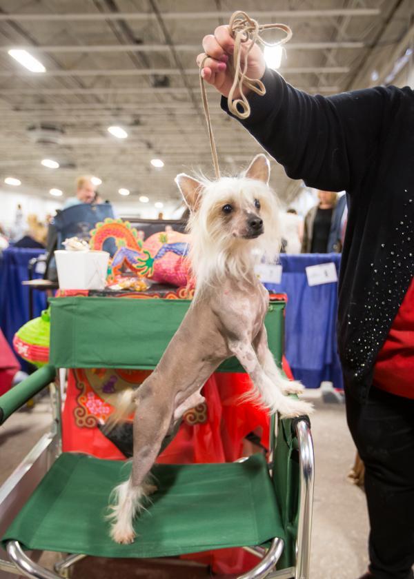 Cão de Crista Chinês. (Foto: Reprodução / NBC Sports)