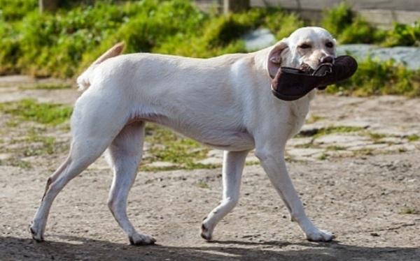 A cachorra usou os chinelos para tentar avisar seu tutor que algo estava errado. (Foto: Reprodução / Bark Post)