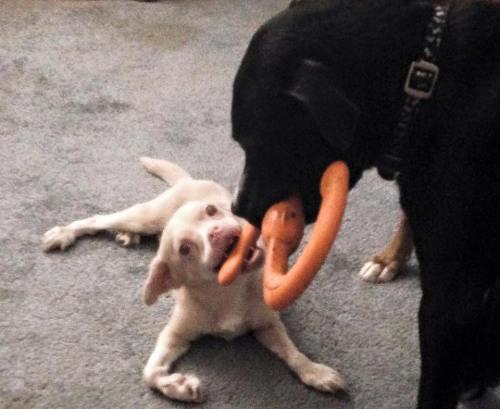 Porém, Tucker faz tudo o que quer e adora brincar com outros animais. (Fotos: Reprodução / Tucker Wears Goggles)