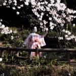 Cerejeiras em Flor – época de florescer