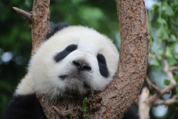 riserve-panda-da-visitare