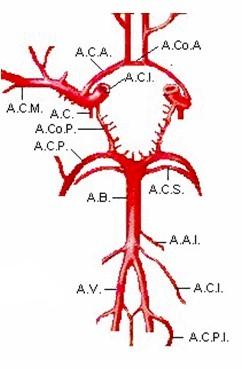 manejo_anestesico_cirugia_aneurisma/anatomia_vascular_SNC_craneal