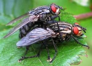 mosca carnaria
