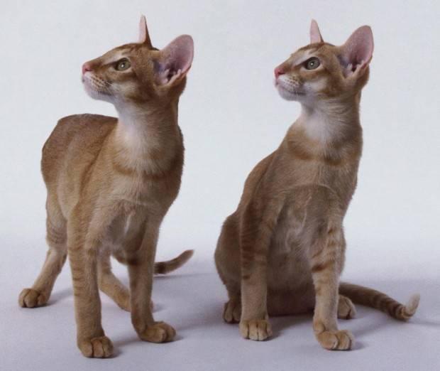 Resultado de imagem para raça Oriental Shorthair