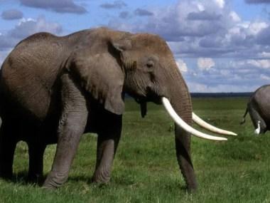 Porque os elefantes não têm câncer