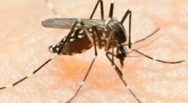 """Tecnologia """"blindará"""" mosquito contra dengue em teste de cidades com até 1,5 milhão de habitantes"""