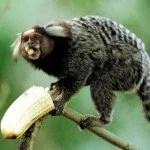 macacos micos alagoinhas febre amarela