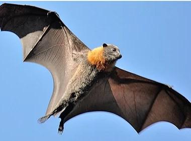 Animais também são alvos de morcegos