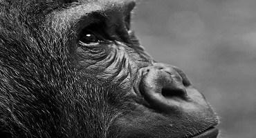 Quimera: humano e macaco em pesquisa