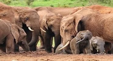 Reserva indiana faz testes de covid em elefantes