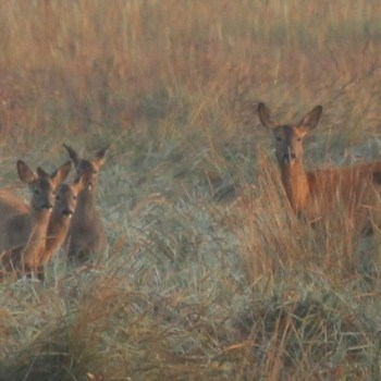 Roe doe with triplets