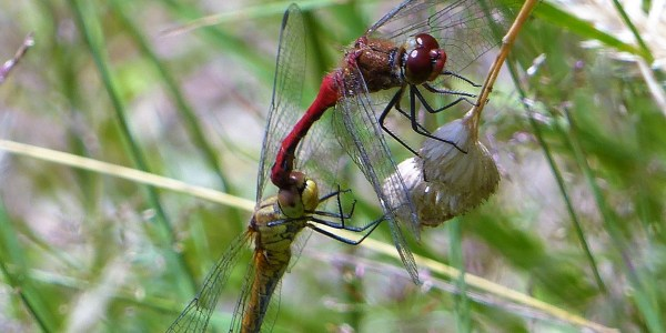 Mating Ruddy Darters