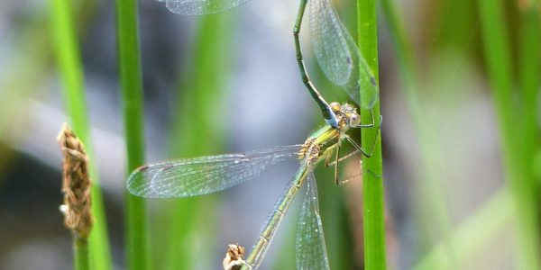 Mating Emerald Damselflies