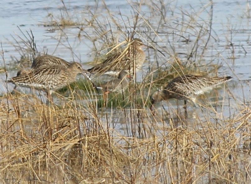 salt marsh winter curlew and redshank