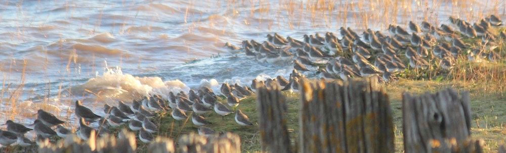 A salt marsh winter and dunlin gather by the old jetty