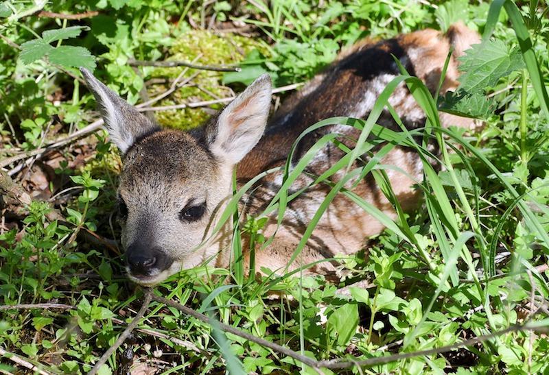 Roe deer kid