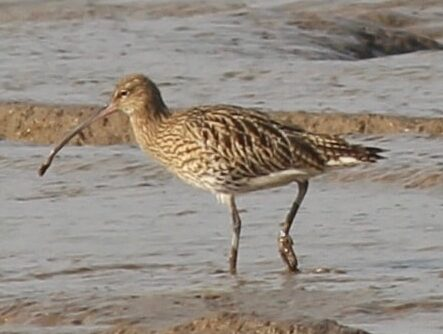 Curlew on the mud at Battery Point