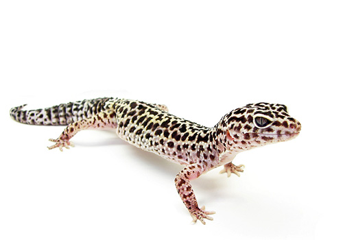 Leopard Gecko Has Scars