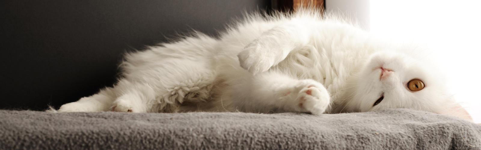 Services for Cats Posh Paws Greenville South Carolina