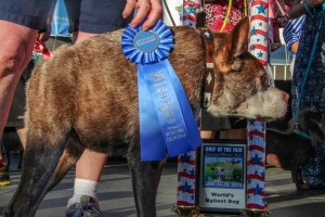 Quasi Modo Winner of 2015 Worlds Ugliest Dog Contest