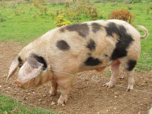 Gloucester_Old_Spot_Boar