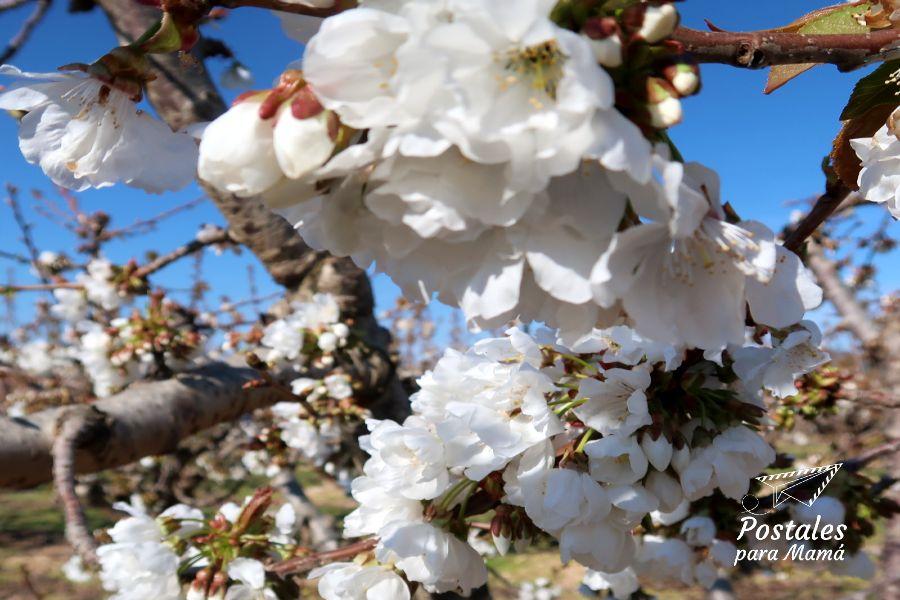 Flores Cerezos La Almunia - Postales para Mamá