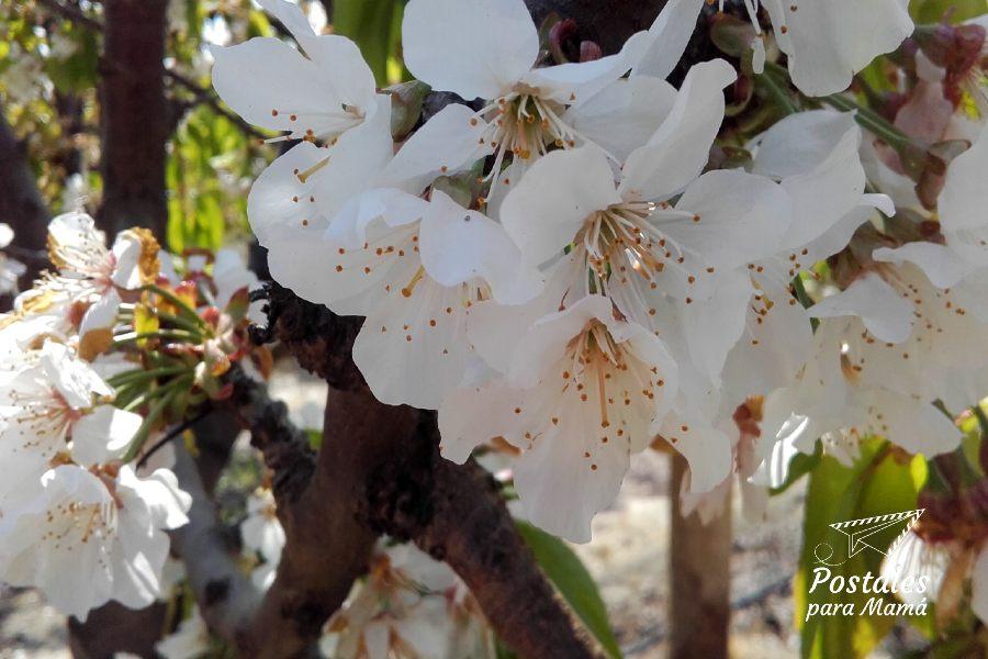 Paseo hanami Cerezos - Postales para Mamá