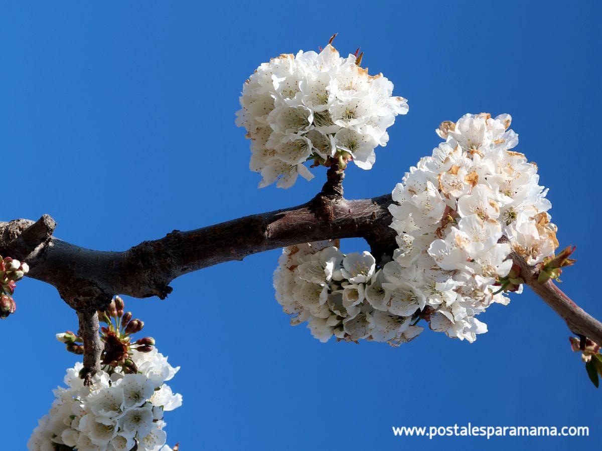 Paseo Cerezos en flor La Almunia - Postales para Mamá