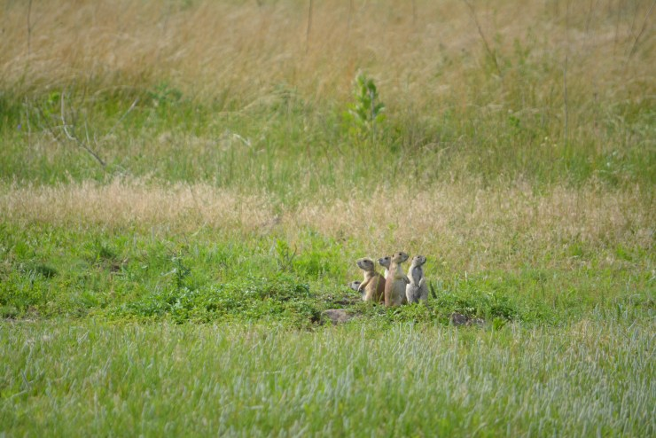 I could watch the prairie dogs at the Fort Niobrara Wildlife Refuge for hours.
