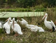 American white pelicans at the Lee G. Simmons Conservation Park & Wildlife Safari.