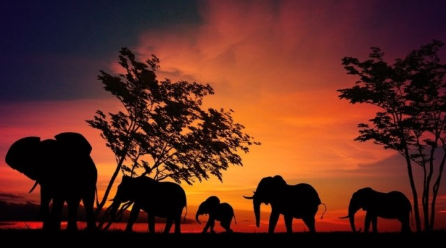 Elephants silhouetted against orange sunset