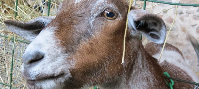 Visit the Haute Goat Farm in Port Hope, Ontario!