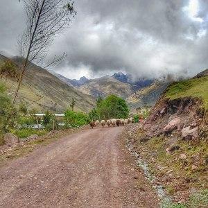 sheep pn Lares Trek