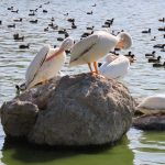 water fowls
