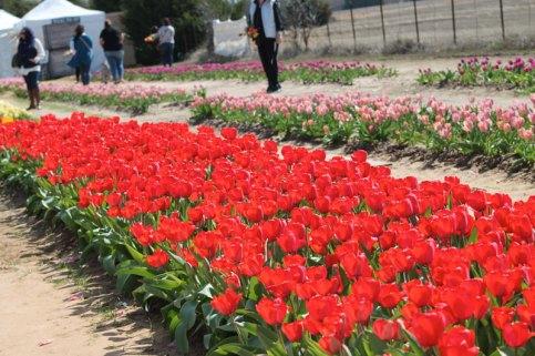 Getaway-Tulips-Red