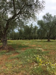 Located on acres and acres of olive trees...