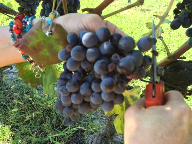 Nebbiolo Grapes for Barbaresco (Photo: Penny Sadler)