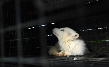 Η φρίκη της εκτροφής ζώων για τη γούνα τους