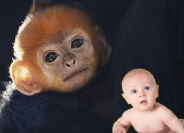 Η δημιουργία του πρώτου εμβρύου πιθηκο-ανθρώπου: ένα μικρό βήμα προς ένα τεράστιο ηθικό ζήτημα