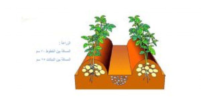 زراعة البطاطس في الاكياس