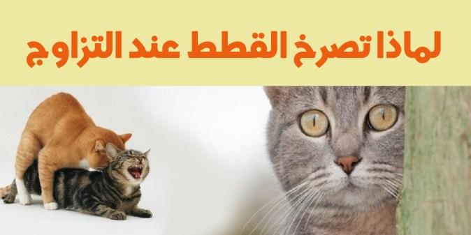 لماذا تصرخ القطط عند التزاوج