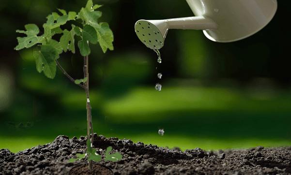 زراعة التين في المنزل