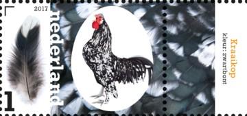 nederlandse-kippenrassen-kraaikop