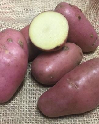 sarpo Axona Seed Potato