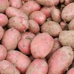 Red Seed potaotes